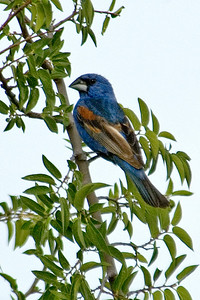 Grosbeak - Blue - male - Buenes Aires NWR - AZ