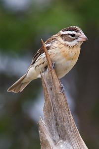 Grosbeak - Rose-breasted - female - Dunning Lake, MN - 03