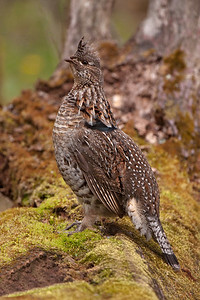 Grouse - Ruffed - Ballclub Lake - Itasca County, MN