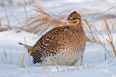 Grouse - Sharp-tailed -  Aitken County, MN - 01