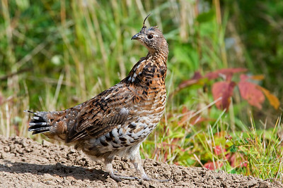Grouse - Ruffed - Gunflint Trail - MN - 02