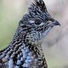 Grouse - Ruffed - Sawbill Trail - Cook County, MN