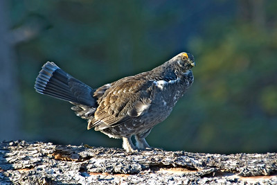 Grouse - Dusky - Bryce Canyon National Park, UT