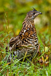 Grouse - Ruffed - Finland, MN - 01