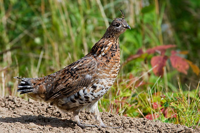 Grouse - Ruffed - Gunflint Trail - MN - 01