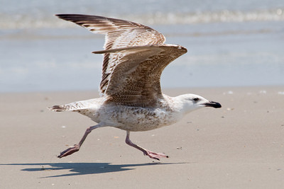 Gull - Great Black-backed - juvenile - South Point - Ocracoke Island, NC - 03