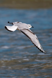 Gull - Bonapartes - nonbreeding plumage - St. George Island - FL