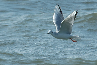 Gull - Bonapartes - nonbreeding plumage - St. George Island State Park - FL - 01