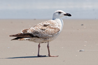 Gull - Great Black-backed - juvenile - South Point - Ocracoke Island, NC - 01