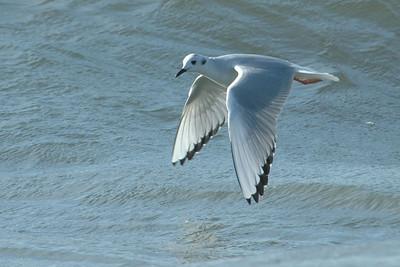 Gull - Bonapartes - nonbreeding plumage - St. George Island State Park - FL - 02