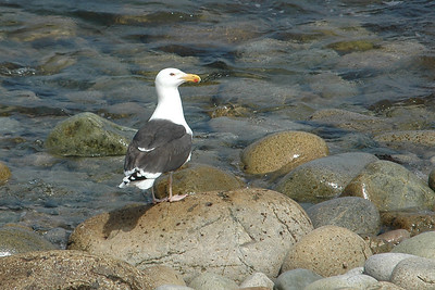 Gull - Great Black-backed -  Acadia National Park, ME - 01
