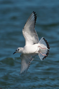 Gull - Bonapartes - nonbreeding plumage - St. George Island State Park - FL - 08