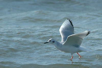 Gull - Bonapartes - nonbreeding plumage - St. George Island State Park - FL - 03