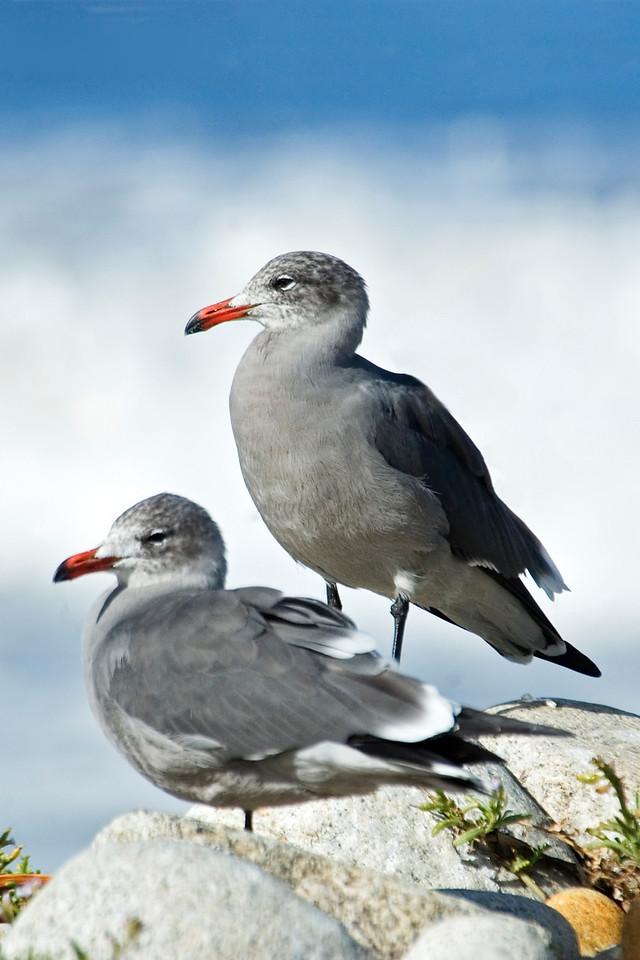 Gull - Heermann's - Monterey Peninsula, CA