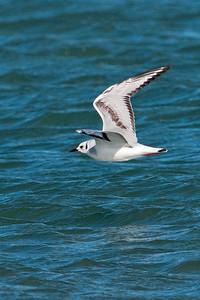 Gull - Bonapartes - nonbreeding plumage - St. George Island State Park - FL - 04