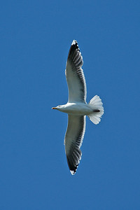 Gull - Great Black-backed -  Acadia National Park, ME - 02
