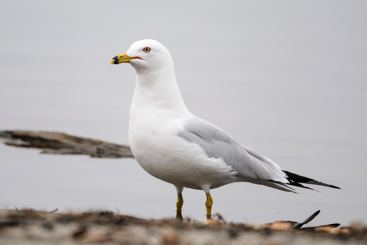 Gull - Ring-billed - Coon Rapids Dam - Anoka County, MN