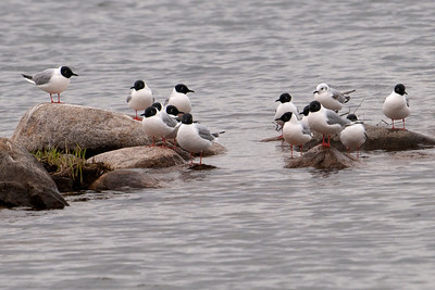 Gull - Bonapartes - breeding plumage - Trout Lake - Bovey, MN