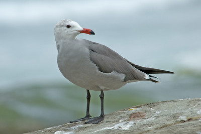 Gull - Heerman's - adult - La Jolla, CA