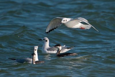 Gull - Bonapartes - nonbreeding plumage - St. George Island State Park - FL - 07