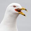 Gull - Ring-billed - eating a pretzel - Coon Rapids Dam - Anoka County, MN