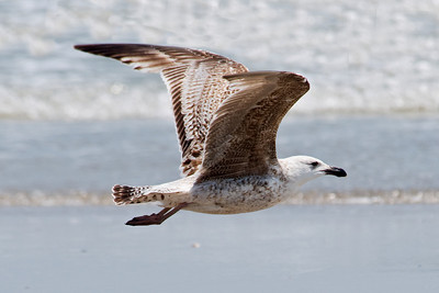 Gull - Great Black-backed - juvenile - South Point - Ocracoke Island, NC - 02