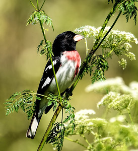 Rose-breasted Grosbeak ~ Male