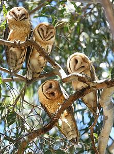 Barn Owls ~ Juvenile