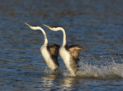 "Western Grebes ~ ""Rushing"""