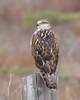 Ferruginous Hawk ~ Juvenile