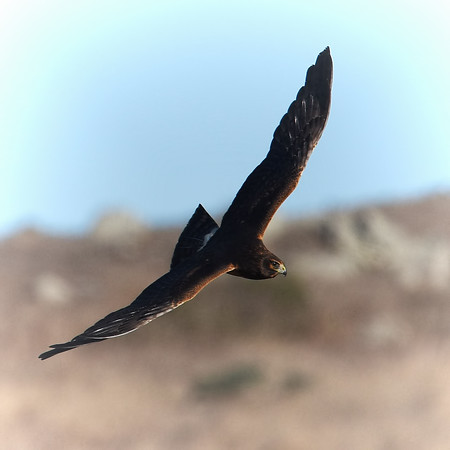 Northern Harrier ~ Female Juvenile