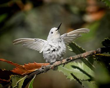 Anna's Hummingbird ~ Leucistic
