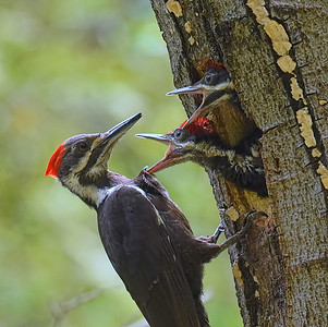 Pileated Woodpecker ~ Female and young