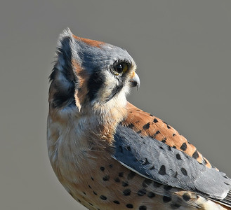 American Kestrel ~ Male