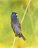 Blue Grosbeak ~ Male
