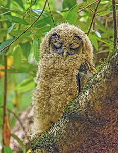 Spotted Owl ~ Fledgling