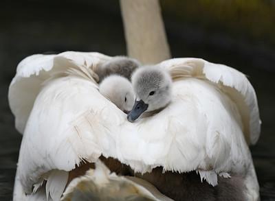 Mute Swan ~ Goslings