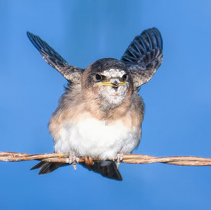 Cliff Swallow ~ Fledgling