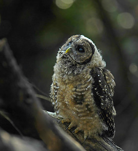 Northern Spotted Owl ~ Fledgling