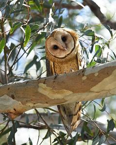 Barn Owl ~ Juvenile