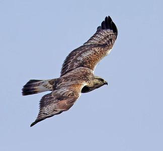 Rough-legged Hawk ~ Juvenile Light Morph