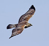 Rough-legged Hawk ~ Juvenile Light Morph