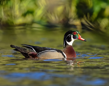 Wood Duck ~ Male