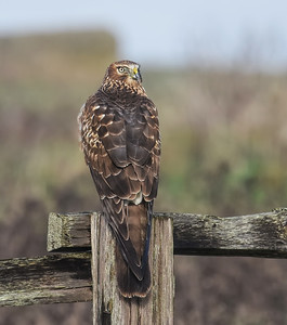 Northern Harrier ~ Female