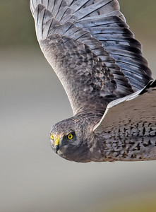 Northern Harrier ~ Male