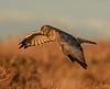 Northern Harrier ~ Male