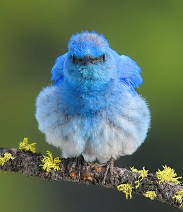 Mountain Bluebird ~ Male