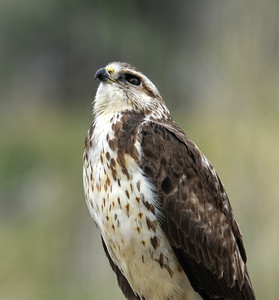 Swainson's Hawk ~ Immature