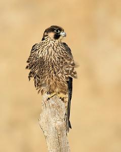 Peregrine Falcon ~ Juvenile