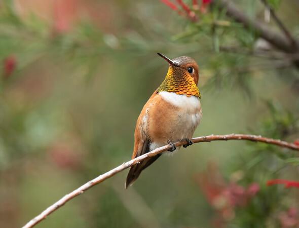 Rufous Hummingbird ~ Male